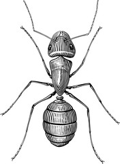 Black and white  vector picture with ant woodcut style