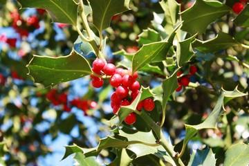 Red Berries of Ilex aquifolium under blue sky