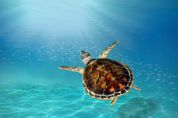 hawks bill sea turtle dive down into the deep blue ocean