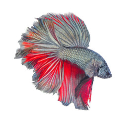 red blue Thai  fighting fish, betta isolated on white