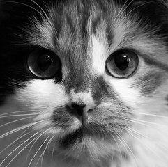 Cat portrait close up in black and white photo