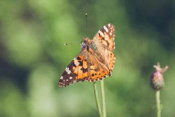 Orange butterfly of the species Vanessa Cardui
