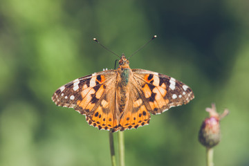 Butterfly in orange colors on a thistle