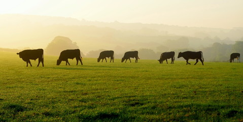 Wall Mural - Herd of cows grazing on a farmland in Devon, England