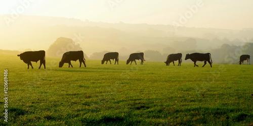 Wall mural Herd of cows grazing on a farmland in Devon, England