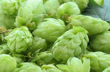 Background with hops