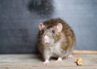 Hand rat sitting on a wooden table