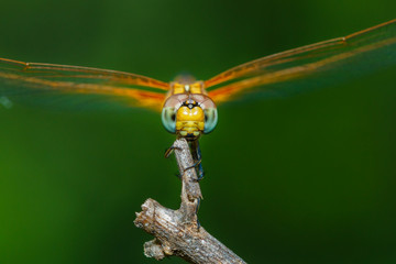 Macro Dragonfly,Dragonfly.