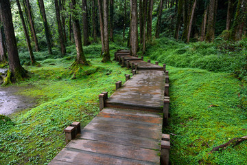 Boardwalk through peaceful mossy forest at Alishan National Scenic Area in Chiayi District, Taiwan