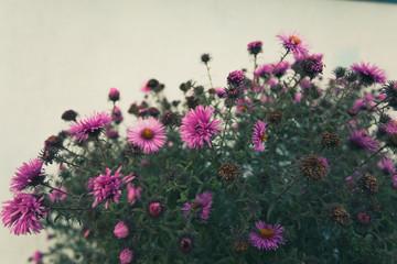 Small Chrysanthemum flowers wallpaper