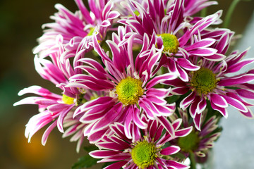 closeup of purple Chrysanthemum flower