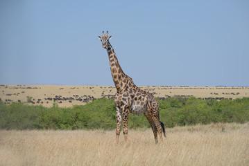 Girrafes in Masai mara