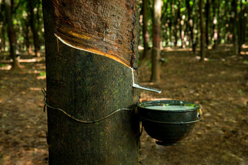 rubber, latex,Field latex extracted from rubber tree(hevea brasiliensis)
