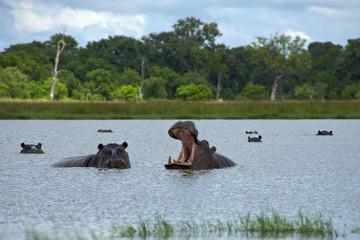 Hippopotamus in Okavango Delta - Moremi National Park in Botswan