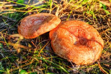 Mushroom lactarius deliciosus