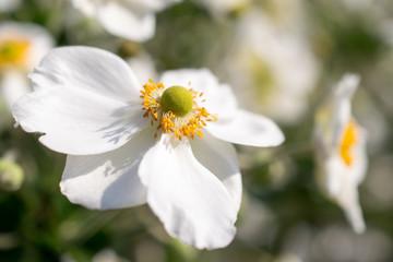 Anemone hybrida honorine jobert flowers.
