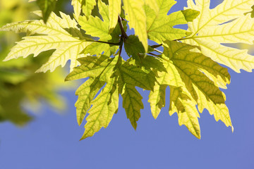 sunlit leaves of sycamore