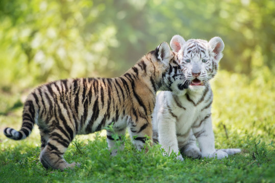 adorable affectionate tiger cubs outdoors