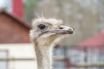 Curious african ostrich