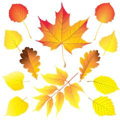 Set of different leaves in autumn colors: maple, box elder (ashleaf maple), birch, aspen, oak, alder and linden . Vector illustration.