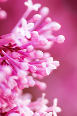 closeup pink lilac  flowers, natural abstract  soft floral background