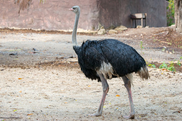 The Ostrich in Zoo.