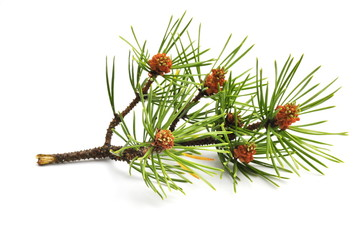 Branch from pine tree on white background