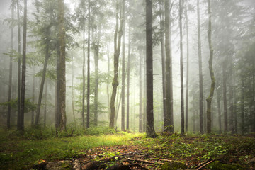 Foto op Canvas Bos Beautiful foggy forest landscape with rainfall.