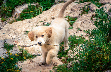 Golden Retriever Puppy On Field
