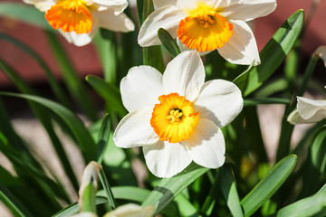 Narcissus Tazetta cultivar flowers on flowerbed