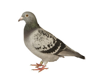 close up full body of speed racing pigeon bird isolated white ba