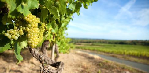 Vigne > Layon > Maine et Loire > France Fototapete