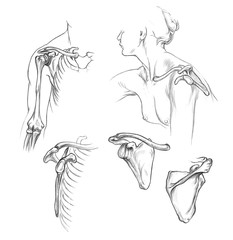 Hand drawn medical illustration drawing with imitation of lithography: Bones of shoulder