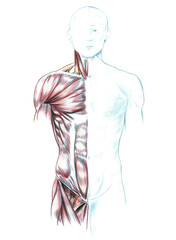 Hand drawn medical illustration drawing with imitation of lithography: Muscles of neck, shoulders, chest and abdomen