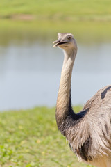 A emu smiling on lagoon at zoo
