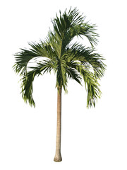 Palm tree isolated white background