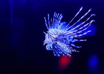 Lion fish in aquarium setting