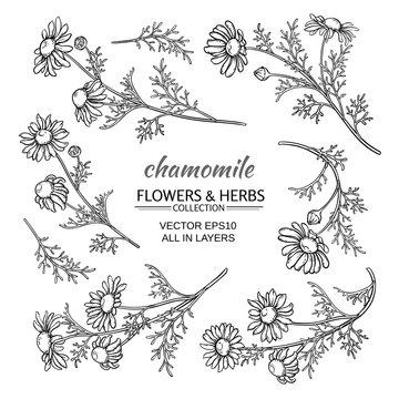 chamomile vector set