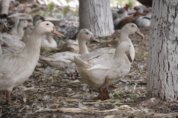 Domestic ducks on a farm in the village outdoors.