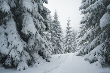 Fototapete - Path on the snow in the spruce forest