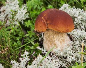 Mushroom boletus on the moss in september