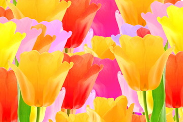 colorful spring tulip flower as background