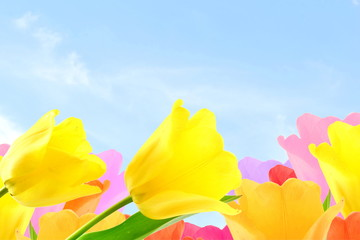 colorful spring tulip flower in sky background with text copy space