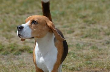 Adorable Beagle Dog Looking Up