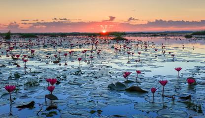 The sea of red lotus, Lake Nong Harn, Udon Thani, Thailand