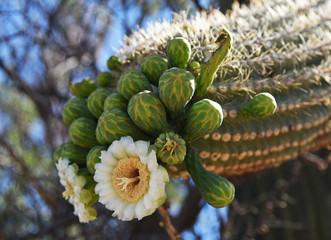 Flowers and buds on Saguaro cactus in Arizona