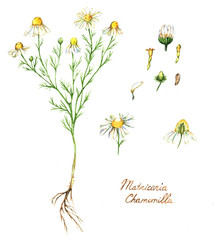 Hand-drawn watercolor botanical illustration of the chamomile plant, flowers, leaves and root. Chamomile drawing isolated on the white background. Medical herbs illustration, herbarium