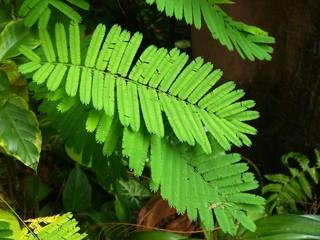 Acacia Pannata
