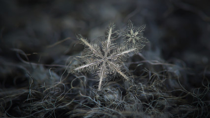 Two snowflakes in flat cluster on dark gray woolen background. This is macro photo of real snow crystals: pair of stellar dendrites with complex structure and sharp edges.