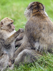 Young Barbary Macaque  (Macaca sylvanus) grooming adult male.